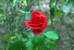 Blooming red rose in the nature stock images