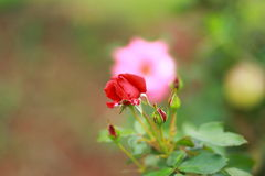 Blooming Red Rose Royalty Free Stock Photography