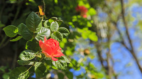 Blooming red rose in park Royalty Free Stock Images