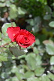 Blooming red rose stock photo