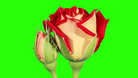Blooming red roses flower buds green screen, FULL HD stock video