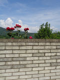 Blooming red roses and green tree behind brick wall Royalty Free Stock Photos