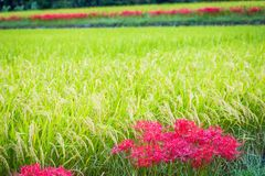 Lines of Red Spider Lilies and Rice Royalty Free Stock Images