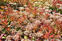 Blooming Red Tip Photinia stock images
