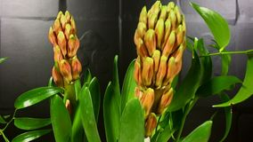 Blooming red tsmall flower buds. Blooming red small flower buds, timelapse; with move stock footage