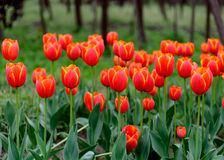 The blooming red tulip in the spring. Stock Photos