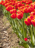 Blooming red tulips Royalty Free Stock Photo