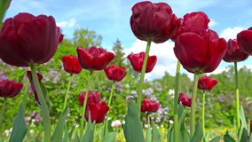 Blooming red tulips on a blue sky background, closeup of tulips swaying in the wind. stock video footage
