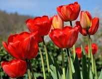 Blooming red tulips Stock Images