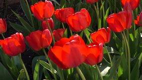 Blooming red tulips stock footage