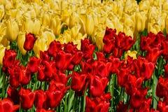 Blooming tulips flowerbed in Keukenhof flower garden, Netherland. Blooming red tulips flowerbed in Keukenhof flower garden, also known as the Garden of Europe Royalty Free Stock Image