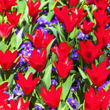 Blooming red tulips in Holland Royalty Free Stock Photos