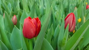 Free Blooming Red Tulips In Green Foliage Background Royalty Free Stock Image - 180682136