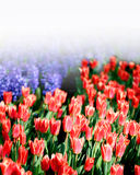 Blooming red tulips in the park in Stock Image
