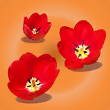 3 Blooming Red Tulips Stock Image