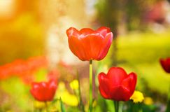 Blooming red tulips in the spring. Stock Photos
