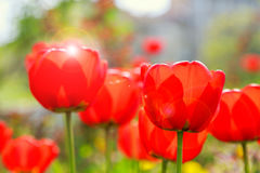 Blooming red tulips in the spring Royalty Free Stock Photo