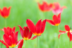 Blooming red tulips in spring after a rain shower Stock Images