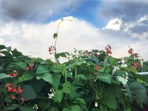 Blooming red white beans in the garden Stock Images
