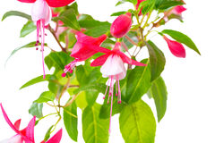 Blooming red and white fuchsia flower is isolated on white backg Royalty Free Stock Photo