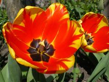 Blooming red with yellow stripes Darwin tulips close-up stock photos