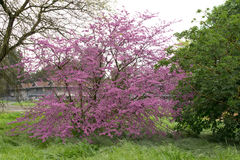 Blooming redbud royalty free stock photo