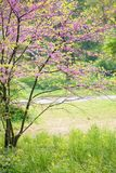 Blooming Redbud Tree. Redbud Tree. Spring flowering with small lilac flowers stock images