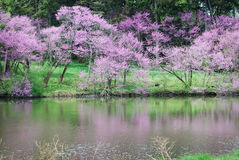Blooming redbud trees next to Lake Marmo with reflections. Royalty Free Stock Images