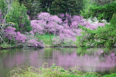 Blooming redbud trees next to Lake Marmo with reflections. Stock Photo