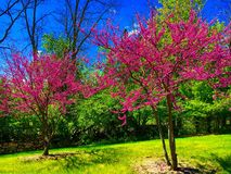 Blooming Redbuds. Beautiful blooming Redbud trees in front of clear blue sky with wispy clouds Stock Photo