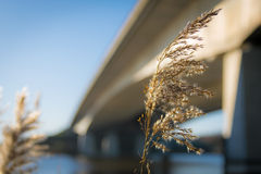 Blooming reed in front of a concrete bridge Royalty Free Stock Photo