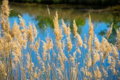 Blooming reed in front of the deliberately blurred pond with the reflection of trees in the water royalty free stock photos