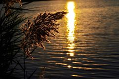 Blooming reed over the lake at sunset. Stock Photo