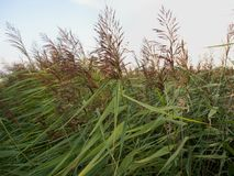 The blooming reed, with purple - brown flowers arranged in a branching spiked inflorescence. The beds of blooming reeds in the wetlands of the North Sea coast in royalty free stock photography