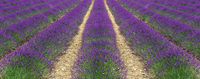 Blooming of resh lavender flowers in Provence Royalty Free Stock Image