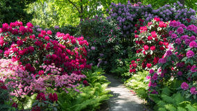Blooming rhododendrons, Berlin, Germany Stock Photo
