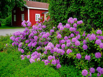 Blooming Rhododendron. In the foreground with an old red house in a background Royalty Free Stock Photo