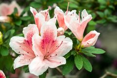 Rhododendron Azalea close-up stock photography