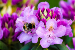 Blooming of Rhododendron. Bumblebee on a flower stock photography
