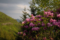 Blooming Rhododendron Bush. A Rhododendron bush in bloom on the Blue Ridge Parkway stock photography
