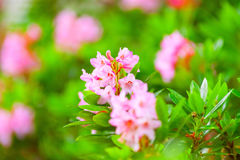 Blooming rhododendron bush, bright summer day Stock Photography