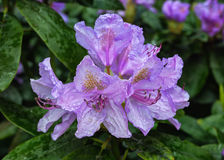 Blooming rhododendron Royalty Free Stock Images