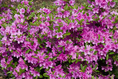 Blooming rhododendron. Bush studded with pink flowers Stock Photography