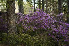Blooming rhododendron in the city park in the spring. Bushes of the Altai rhododendron blooming with purple flowers in the city park in the spring Stock Photo