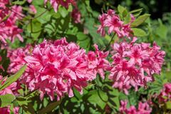 Blooming rhododendron Stock Image