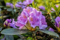 Blooming rhododendron Royalty Free Stock Photography