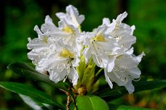 Blooming rhododendron Stock Images