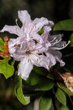 Blooming rhododendron closeup in forest northern of Thailand. Stock Images