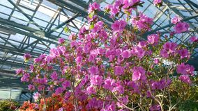 Blooming rhododendron flowers in the greenhouse. Rhododendron stock footage