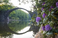 Blooming rhododendron flowers in a park in Kromlau, germany, devil bridge in the background stock photos